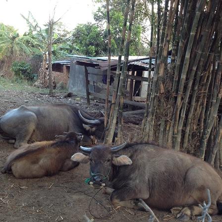 1/ Ảnh đàn trâu nhà bố mẹ Trim sau một ngày đi ăn, chiều về nằm nghỉ dưới bụi tre bên cạnh nhà.