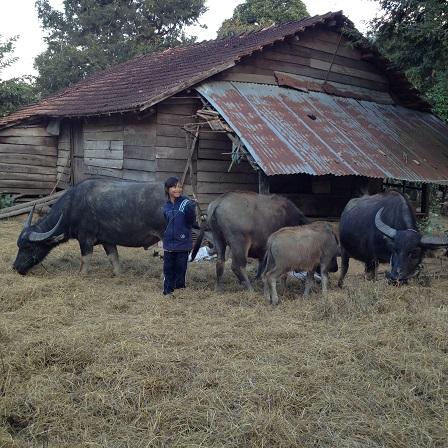 2/ Ảnh em Lim con gái bố mẹ Được chuẩn bị lùa đàn trâu vào chuồng.