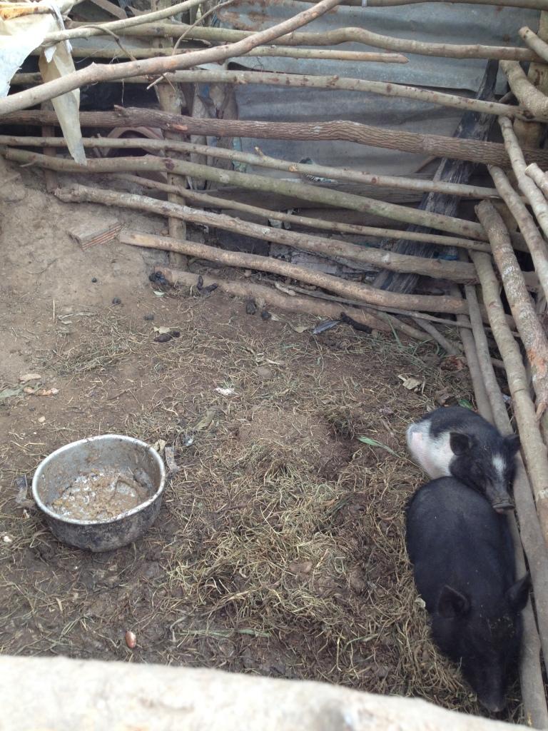 Ảnh chuồng heo gia đình bố mẹ Lim ở thôn Hai thật sơ xài, tội cho hai con heo nhỏ trong trời gió lạnh.