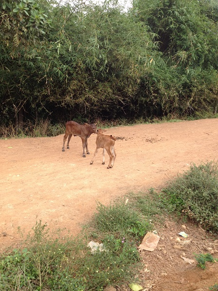 1/ Ảnh hai con bê một tháng tuổi của gia đình bố mẹ Thiếu, trên con đường về xóm Đào.