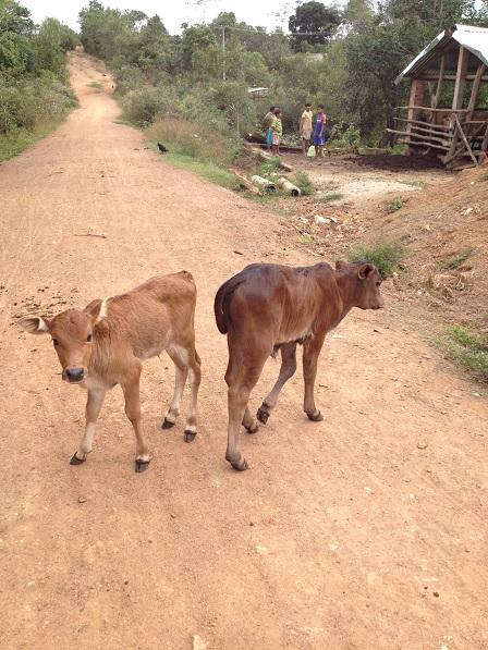 2/ Ảnh hai con bê trước cổng chuồng bò của gia đình bố mẹ Thiếu bên xóm Đào