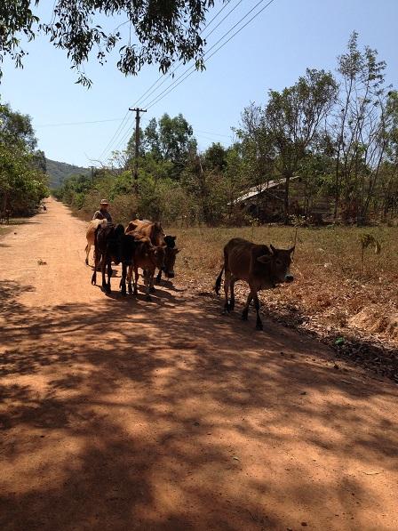 Ảnh em Rick buổi trưa lùa bò đi ăn trên con đường Buôn Làng.