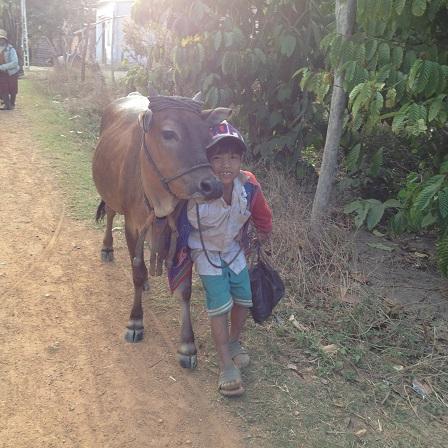 1/ Ảnh buổi chiều trên đường dắt bò về, em Kali dùng sức mình để thắng con bò đi chậm lại.