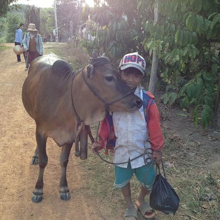 2/ Ảnh em Kali và con bò buổi chiều trên đường về rất thân thiện.