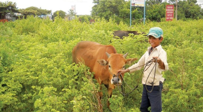 Xin thuốc bổ cho bò