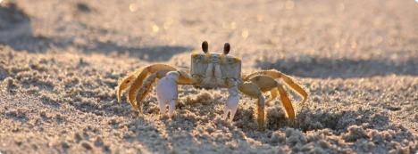 Cua ma (Ghost Crab) trên bãi cát.