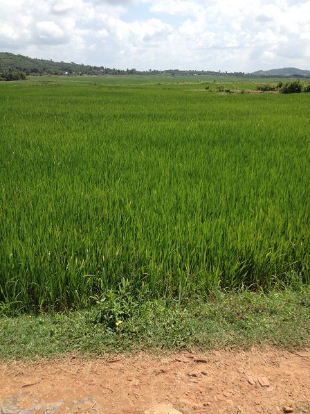 Ruộng lúa 2016 của anh em Buôn Làng xanh mướt hứa hẹn một mùa lúa bội thu.