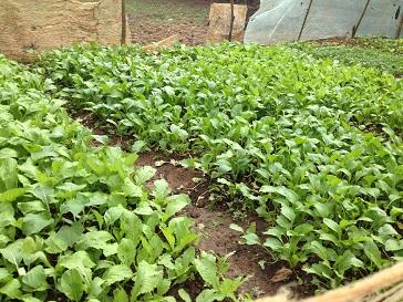 1/ Ảnh vườn rau gia đình bố mẹ Thiếu xanh mướt, an toàn không có thuốc kéo cũng như thuốc trừ sâu.
