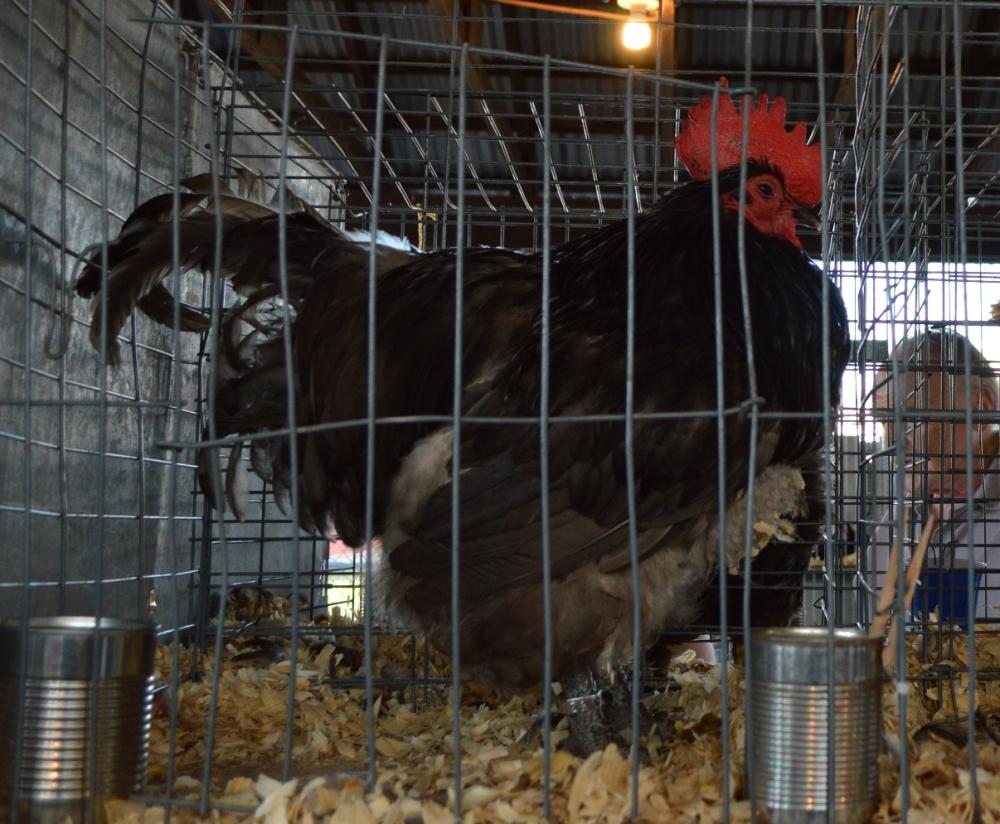 Chú gà trống vô địch này to cở bằng 3-4 lần gà nhà mình.