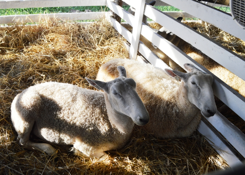 Khu vực của Sheeps (Trừu).