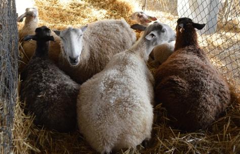 Trừu đen và Trừu trắng.