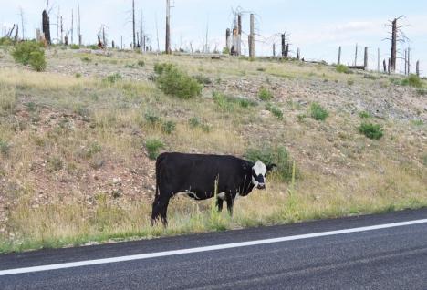 Đến một đoạn khác có chú bò đen đang một mình ăn bên đường. Không biết chú có chủ hay không vì chổ này toàn là rừng một bên và bên đối diện toàn là đồng trống không thấy nhà cửa hay nông trại của người.