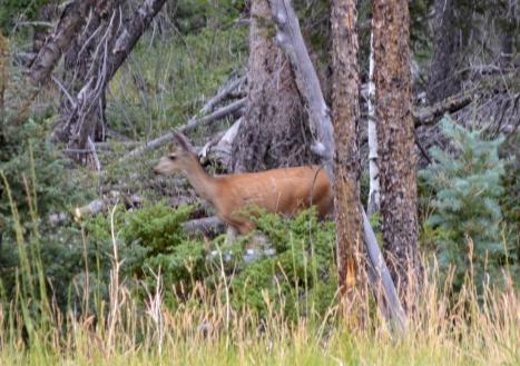 Gần cuối cánh rừng thì thấy chú này. Chắc là gần tối rồi nên có nhiều chú nai đi kiếm ăn.