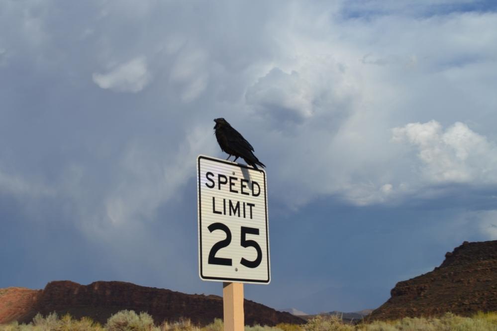 Chú quạ canh đường cho du khách giữ đúng tốc độ 25 miles/giờ (40 km/giờ).