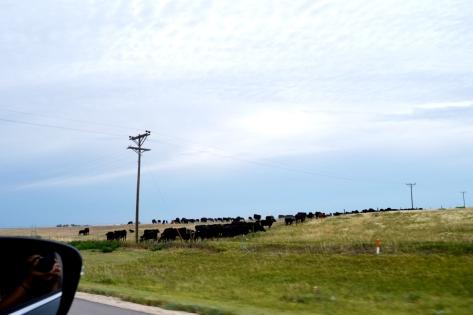 Nông trại bò bên phải I-70 W, bang Kansas.