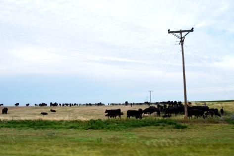 Đàn bò cũng phải chừng vài trăm chú là ít.