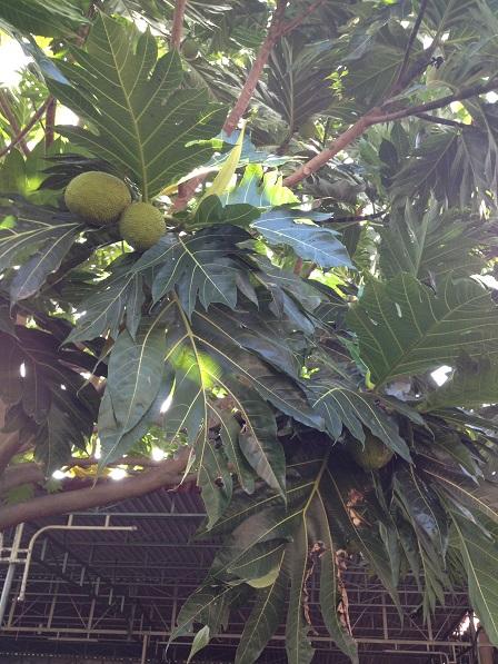 Cây Sakê của nhà Lưu trú cho trái đầu mùa.