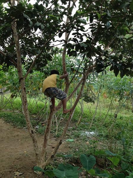 2/ Ảnh em Dim trèo tìm ổi, không phải mùa ổi nhưng nó là niềm vui của các em nhỏ trong Buôn Làng.
