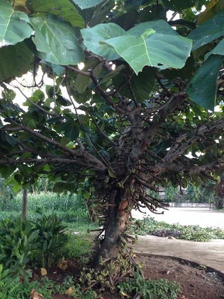 1/ Cây vả trong khuôn viên nhà thờ giáo xứ Thuận Hòa – Gp. Banmêthuột.