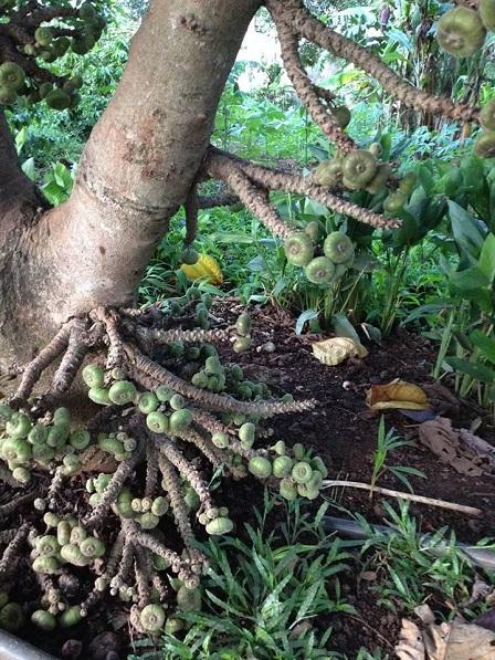 2/ Dưới gốc cây vả mọc chi chít trái.