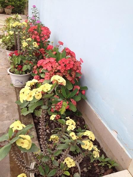 """Ảnh những cây hoa """"Bát tiên"""" màu vàng và màu đỏ bên bờ tường của nhà Yăh trong Buôn Làng."""