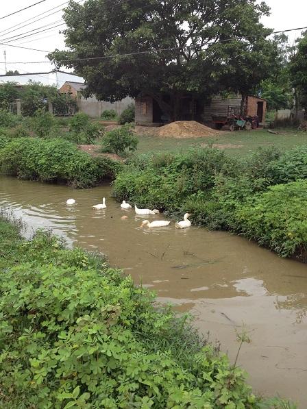 2/ Những con vịt của gia đình bố mẹ Lanh kiếm ăn trên mương nước Buôn Làng sau cơn mưa.