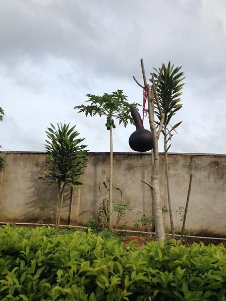 2/ Ảnh trái bầu của em Chie học sinh Lưu trú lớp Mười mang từ nhà ra đươc phơi tiếp cho khô thêm.