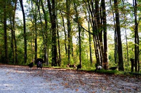 Gia đình Wild Turkey đang ăn bên đường.