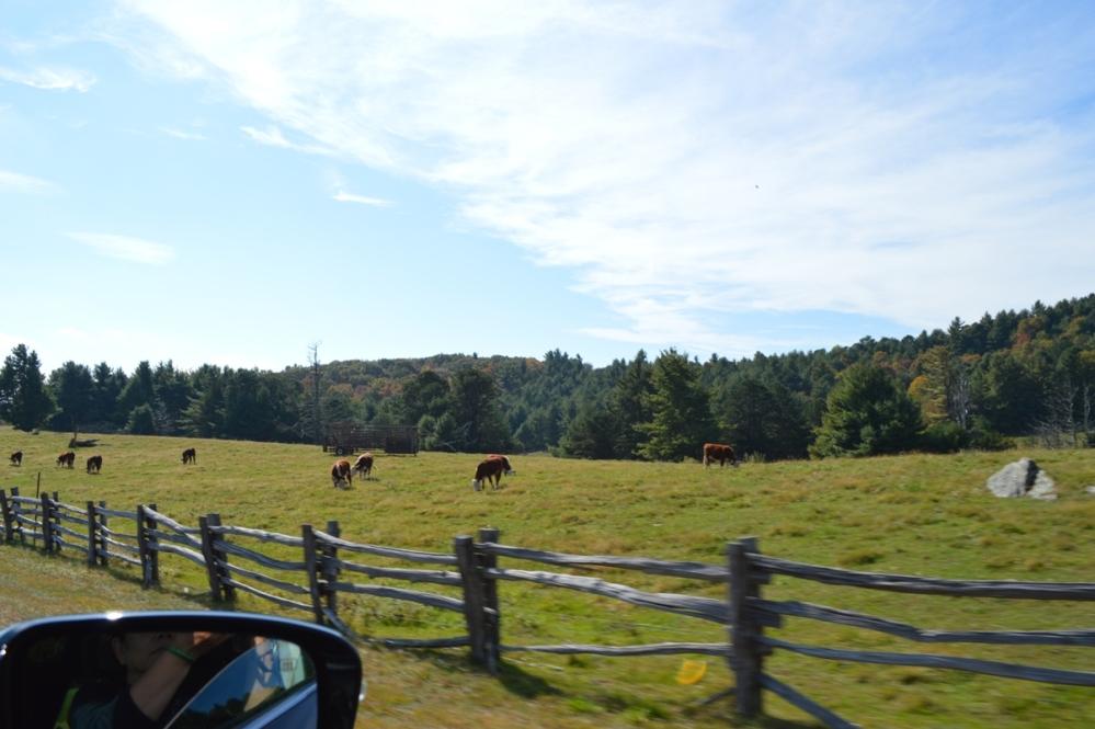 Đàn bò thong dong ăn cỏ bên đường. Nhìn quanh chẳng thấy có một nông trại nào gần bên.