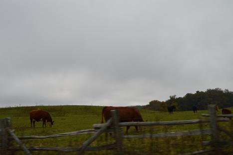 Thêm một đàn bò khác đang ăn bên đường.