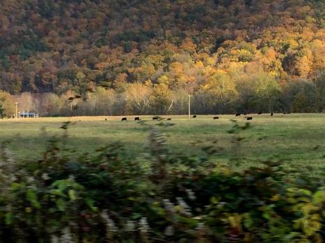 Đàn bò đang ăn xa xa trong chân núi.