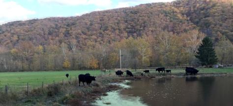 Đàn bò đang ăn xa xa gần chân núi.