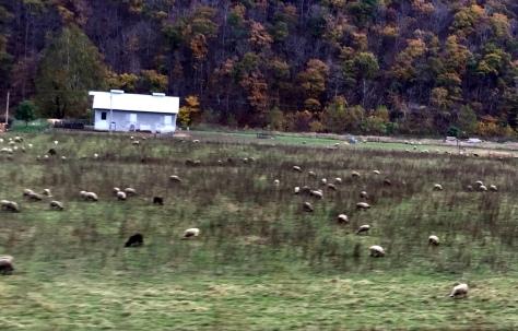 Nhìn gần chút nữa thì thấy còn nhiều chú đang ăn tuốt bên đồng cỏ gần chân núi.