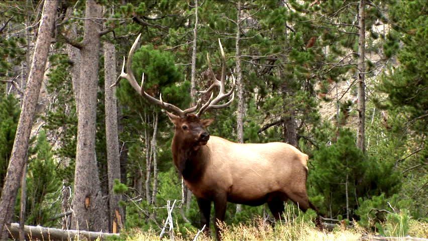Vì là chàng Elk thì sẽ có bộ sừng to, cao, nhọn, rộng  nằm ngay trên đầunhư thế này. (Mình mượn tấm ảnh này trên internet để giới thiệu với các bạn)