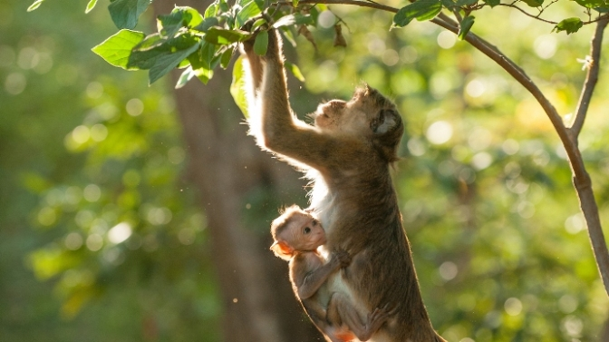 Maya, shown with her newborn, Kip, had to use her wits to rise above her lowly station in the social hierarchy of her group of macaque monkeys.