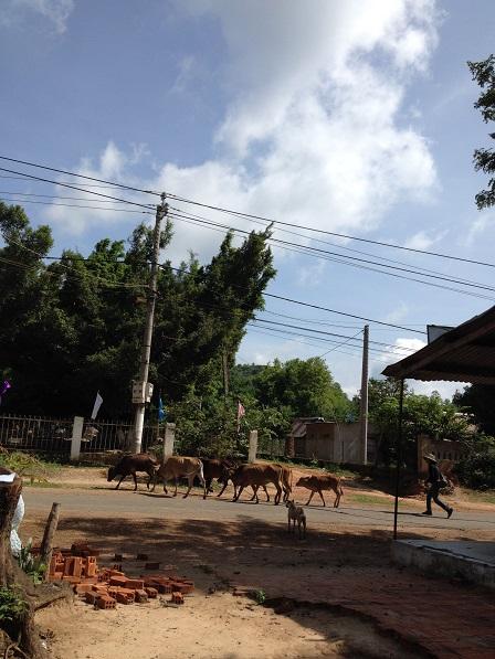 Ông ngoại Lithiêm đang cho đàn bò đi trên con đường chính của Buôn Làng