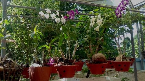 Đây là phong lan mẹ Hằng trồng, được một năm thì ra hoa.