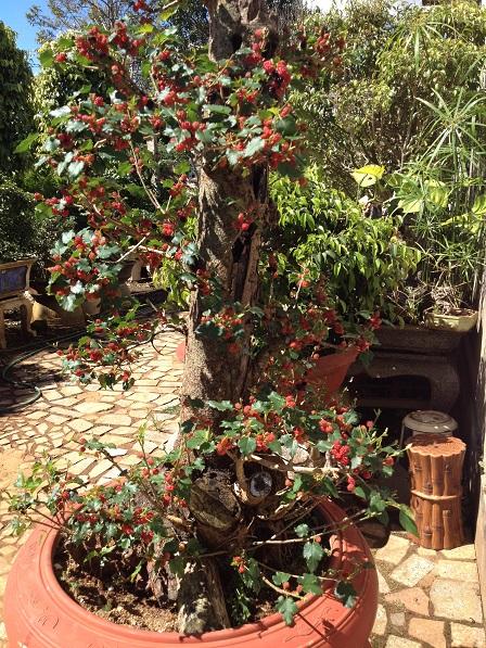 18_Cây dâu trong vườn ông Hoạt