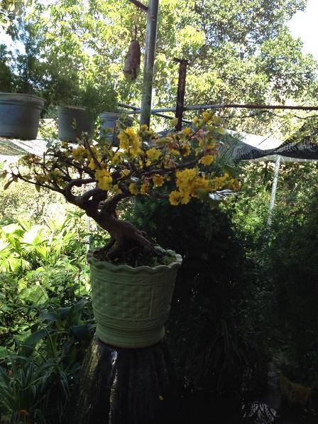 23_Cây mai trong vườn ông Hoạt (2)