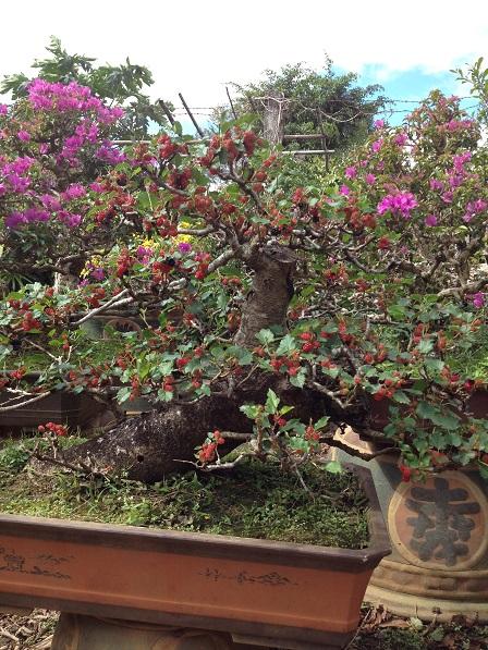 25_Vườn cây cảnh của gia đình ông Hoạt