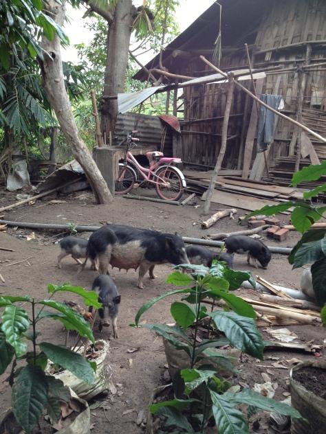 1/ Ảnh đàn heo tộc của gia đình bố mẹ Lơi ở thôn Tư Buôn Hằng được thả rông trong vườn.