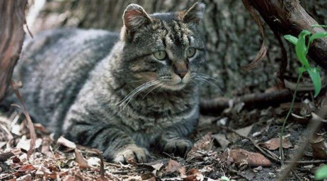 Mèo hoang