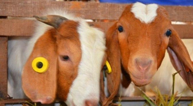 Chuyện ở trang trại dê sữa lớn nhất ViệtNam