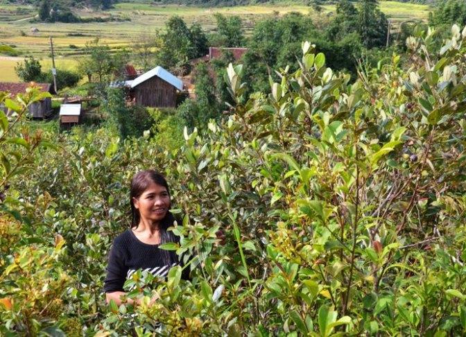 Mùa sim chín trên cao nguyên KonPlông
