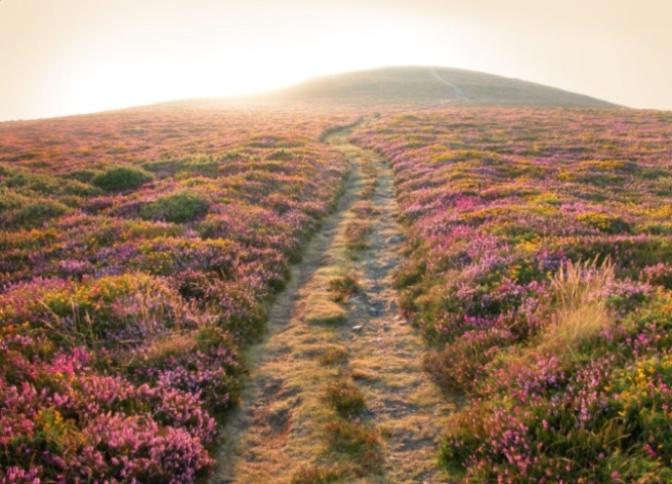 Xạ hương núi hoang – Wild Mountain Thyme