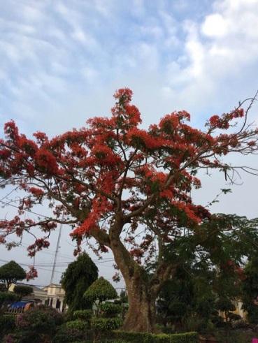 Mới đầu tháng Năm cây hoa phượng trong khuôn viên nhà thờ giáo xứ Vinh Quang (Hà Lan B) Gp. Ban mêthuột đã nở rộ.