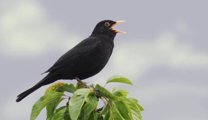 Chim đen – Blackbird