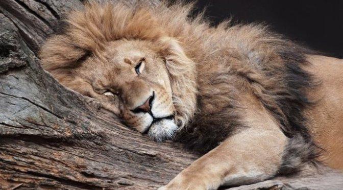 Sư tử ngủ đêm nay – The lion sleeps tonight