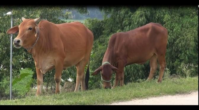 Con bò ba, con bò má