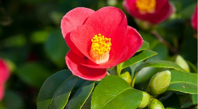 When the camellia blooms